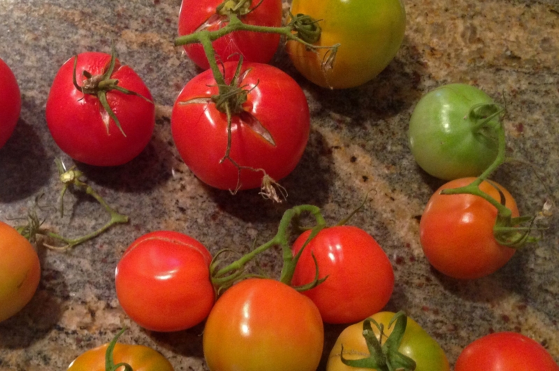 Our Last Tomatoes